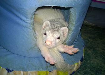 Ferret for adoption in Spokane Valley, Washington - Ferret