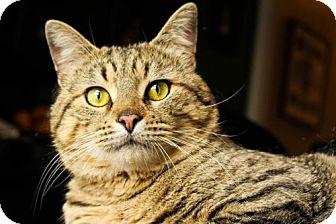 Ocicat Cat for adoption in Atlanta, Georgia - Miko