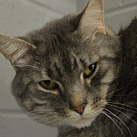 Domestic Shorthair Cat for adoption in House Springs, Missouri - Moon Doggy