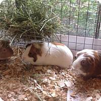 Adopt A Pet :: Pepi, Mowgli, and Oswald - Williston, FL