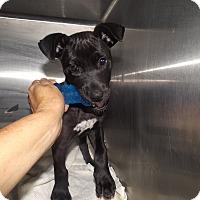 Adopt A Pet :: Cap - Quincy, IN