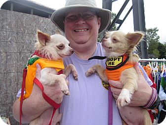Chihuahua Dog for adoption in Bloomington, Indiana - Diego and Donna