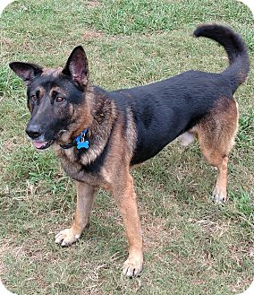 German Shepherd Dog Dog for adoption in Mocksville, North Carolina - Jack