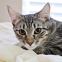 Adopt A Pet :: Bailey the Cat - Euless, TX