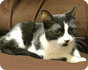 Domestic Shorthair Cat for adoption in Rochester, New York - Relli