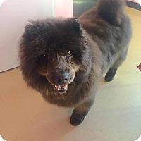Adopt A Pet :: Beauty - Manassas, VA