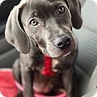 Adopt A Pet :: Viola