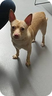 Chihuahua Mix Dog for adoption in Cliffside Park, New Jersey - Lucas