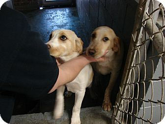 Labrador Retriever/Cattle Dog Mix Dog for adoption in Fort Scott, Kansas - Alexis
