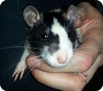 Rat for adoption in Lakewood, Washington - Broken Blaze