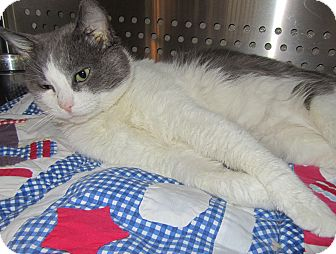 Domestic Shorthair Cat for adoption in Jackson, Michigan - Bubba