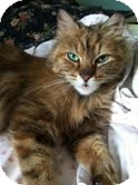 Domestic Longhair Cat for adoption in Chicago, Illinois - Rosario