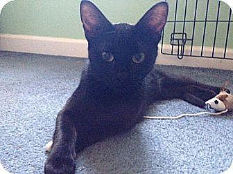 Domestic Shorthair Cat for adoption in Parkton, North Carolina - Ebony