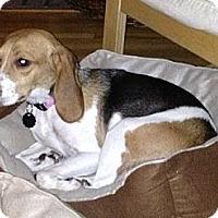 Adopt A Pet :: Maple Wilson - Waldorf, MD