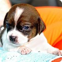Adopt A Pet :: Pancake - Chicago, IL