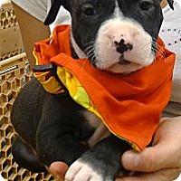 Adopt A Pet :: Rosie sooo cute - Sacramento, CA