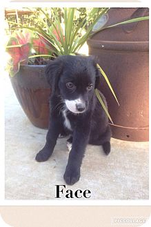 Labrador Retriever/Shepherd (Unknown Type) Mix Puppy for adoption in Cleveland, Oklahoma - Face ADOPTION PENDING