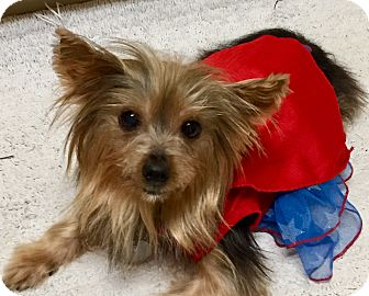 Yorkie, Yorkshire Terrier Mix Dog for adoption in Houston, Texas - Tinkerbelle