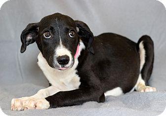 Hound (Unknown Type) Mix Puppy for adoption in Waldorf, Maryland - Rya
