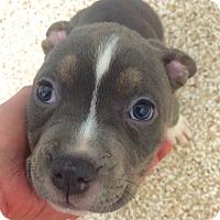 Adopt A Pet :: Noel - Reisterstown, MD