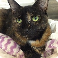 Manx Cat for adoption in Boynton Beach, Florida - Tawny