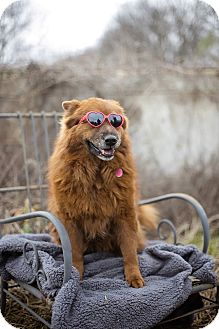 Chow Chow Mix Dog for adoption in Natchitoches, Louisiana - Lady