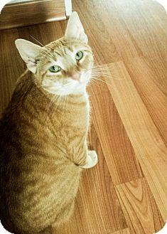 Domestic Shorthair Cat for adoption in Whitestone, New York - _Noah