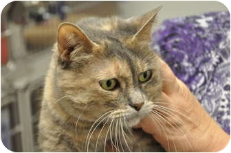 Domestic Shorthair Cat for adoption in Foothill Ranch, California - Trinity