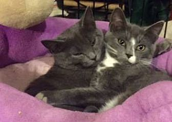 American Shorthair Cat for adoption in New City, New York - Grey & White Kitten Siblings