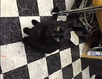 Domestic Shorthair Cat for adoption in Rochester, New York - LUCKY SUPER SWEETIE FIV+