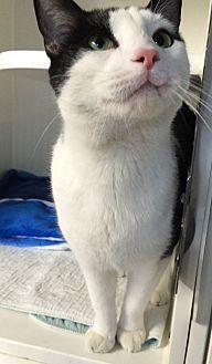 Domestic Shorthair Cat for adoption in Middletown, New York - Drew