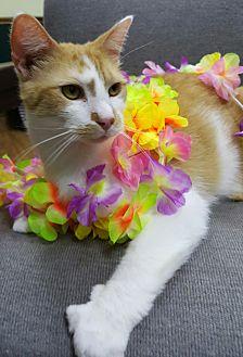 Domestic Shorthair Cat for adoption in Albemarle, North Carolina - Zeus