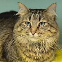 Domestic Mediumhair Cat for adoption in Atlanta, Georgia - Mama Cass 13858