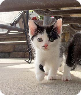 Domestic Shorthair Kitten for adoption in Barnegat, New Jersey - Oreo