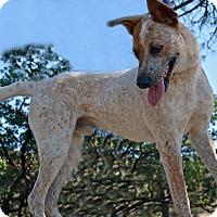 Australian Cattle Dog Mix Dog for adoption in Mountain Center, California - Jack Nicholson