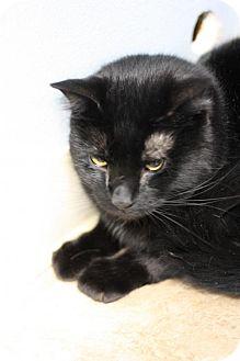 Domestic Shorthair Cat for adoption in Colorado Springs, Colorado - Danny