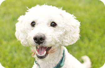 Poodle (Miniature) Mix Dog for adoption in Romeoville, Illinois - Rizzo