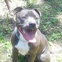 American Pit Bull Terrier Mix Dog for adoption in Channahon, Illinois - Taz