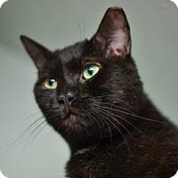 Bombay Cat for adoption in Queens, New York - Biggie