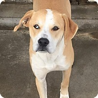 Adopt A Pet :: Copper - Aurora, MO