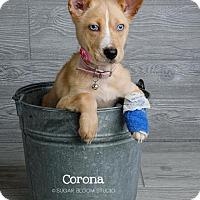 Adopt A Pet :: Corona - Denver, CO