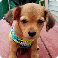 Adopt A Pet :: Robin Williams (The Little Stars) - Alexandria, VA