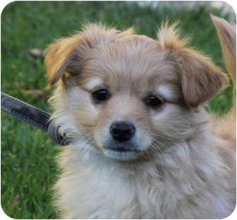 Yorkshire terrier corgi mix