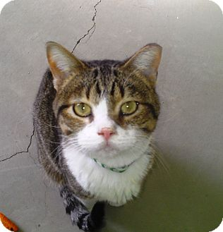 Domestic Shorthair Cat for adoption in Edmond, Oklahoma - Romeo