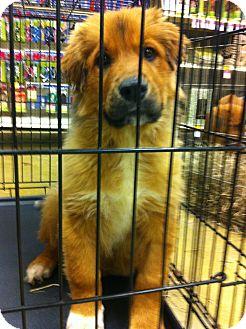 Shepherd (Unknown Type) Mix Puppy for adoption in Gainesville, Florida - Waylon