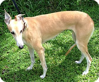 Greyhound Dog for adoption in Tampa, Florida - Cher