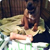 Adopt A Pet :: Nibbles - Richmond, VA