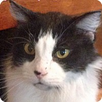 Domestic Mediumhair Cat for adoption in Albuquerque, New Mexico - Rocco