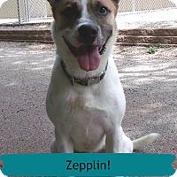 Adopt A Pet :: Zepplin - Muskegon, MI