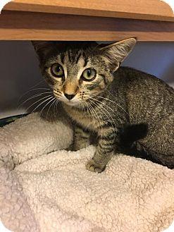Domestic Shorthair Kitten for adoption in Hanna City, Illinois - Gretchen